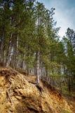 Schöne Ansicht von Kiefern im Wald stockbilder