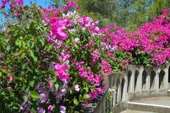Schöne Ansicht von rosa Blumen unter Sonnenlichtlandschaft am Sommer auf Aegina-Insel Lizenzfreies Stockbild