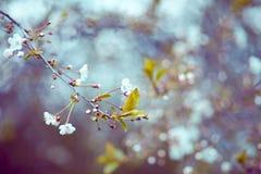 Schöne Apfelbaumblumen Lizenzfreies Stockfoto