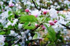 Schöne Apfelblüte im Frühjahr lizenzfreie stockfotografie