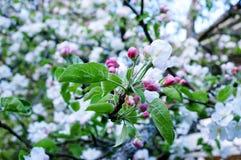 Schöne Apfelblüte im Frühjahr stockfotos