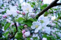 Schöne Apfelblüte im Frühjahr stockfotografie