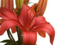 Schöne asiatische Lilien-Blüte Lizenzfreie Stockbilder