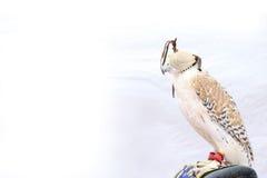 Schöne ausgebildete Peregrine Falcon mit Maske auf weißem Hintergrund, DUBAI-UAE 21. JULI 2017 Lizenzfreie Stockbilder