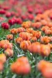 Schöne award-winning rote Prinzessin und orange Prinzessintulpen Stockbilder