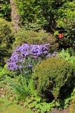Schöne Azalee blüht im Frühjahr Garten in Schottland Stockbild