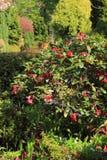 Schöne Azalee blüht im Frühjahr Garten in Schottland Lizenzfreies Stockbild