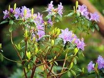 Schöne Azaleenveilchenblumen Lizenzfreies Stockbild