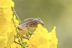 Schöne bärtige durchschnittliche gelbe Blumen der Dracheeidechse lizenzfreies stockfoto