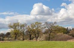 Schöne Bäume auf farmalnd in der Essex-Landschaft Lizenzfreie Stockfotos