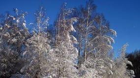 Schöne Bäume des verschneiten Winters, Litauen Lizenzfreies Stockbild