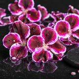 Schöne Badekurorteinstellung der blühenden dunklen purpurroten Pelargonienblume Stockfotografie