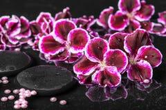 Schöne Badekurorteinstellung der blühenden dunklen purpurroten Pelargonienblume Stockfotos