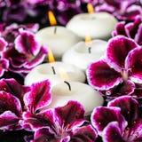 Schöne Badekurortzusammensetzung blühenden dunklen purpurroten Pelargonie flowe Stockfoto