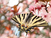 Schöne Basisrecheneinheit Papilion auf den Blumen Stockfotografie