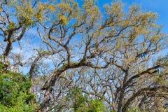Schöne Baumniederlassungen und -blätter gegen blauen Himmel Lizenzfreie Stockfotografie