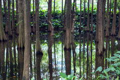 Schöne Baumstämme im Fluss Bäume reflektiert im Wasser Lizenzfreie Stockfotografie