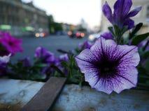 Schöne Begonienblumen in der Stadt stockfotografie