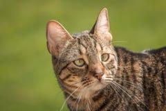 Schöne Bengal-Katze Lizenzfreies Stockfoto