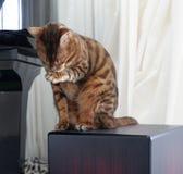 Schöne Bengal-Katze, die sitzend durch das Klavier sich säubert lizenzfreie stockbilder
