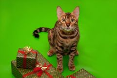 Schöne Bengal-Katze sitzt nahe den neues Jahr ` s Geschenken Traditionelle Feiertage Lizenzfreies Stockbild