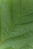 Schöne Beschaffenheit eines grünen Blattes Lizenzfreies Stockfoto
