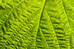 Schöne Beschaffenheit und Beschaffenheit des grünen Blattes Stockfoto