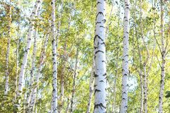 Schöne Birken im Wald im Herbst Lizenzfreie Stockfotografie
