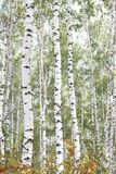 Schöne Birken im Wald im Herbst Stockfoto