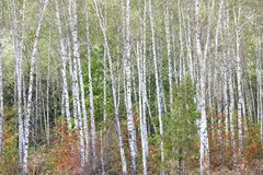 Schöne Birken im Wald im Herbst Lizenzfreies Stockfoto