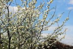 Schöne Birne des blühenden Gartens Stockbild
