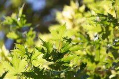 Schöne Blätter auf dem Baum in der Natur Stockbilder