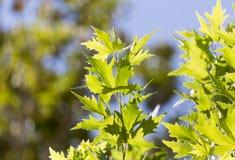 Schöne Blätter auf dem Baum in der Natur Stockfotos