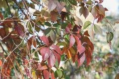 Schöne Blätter auf einem Baumast am sonnigen Herbsttag, helles Na Lizenzfreie Stockfotografie