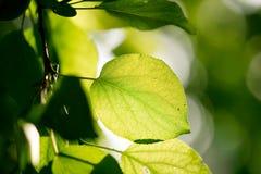 Schöne Blätter eines Baums in der Natur Lizenzfreies Stockbild