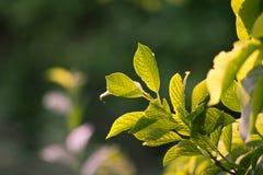 Schöne Blätter eines Baums in der Natur Stockbilder