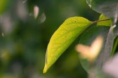 Schöne Blätter eines Baums in der Natur Stockbild