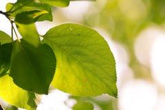 Schöne Blätter eines Baums in der Natur Stockfotografie