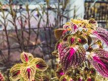 Schöne Blätter sind, für Hintergründe wie Webseiten und auch für Förderungsmedienhintergründe 3 rot stockfoto
