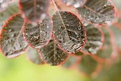 Schöne Blätter von Cotinus coggygria 'königlich Stockfotografie