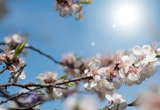 Schöne blühende Aprikosen an einem hellen sonnigen Tag stockfotografie