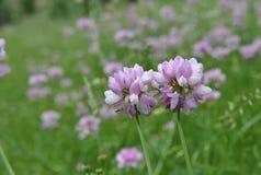 Schöne blühende Astragalblumen im Sommer Stockfoto