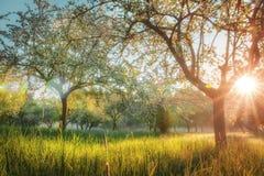 Schöne blühende Bäume im Garten bei Sonnenuntergang Helles Sonnenlicht glänzt durch Niederlassungen von blühenden Bäumen breiten  stockfotografie