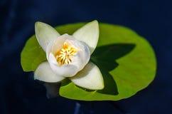 Schöne blühende Blume - Wildwasserlilie auf einem Teich Nymphaea alba lizenzfreie stockfotos