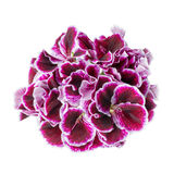 Schöne blühende dunkle purpurrote Pelargonienblume wird auf wh lokalisiert Lizenzfreie Stockfotos