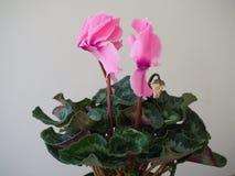 Schöne blühende Frühlingsblume - rosa Terry-Alpenveilchen stockbild