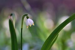 Schöne blühende Frühlingsschneeflockenblumen (leucojum vernum carpaticum) Stockbild