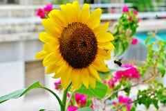 Schöne blühende gelb-helle Farbe der Sonnenblume mit einer fliegenden Hummel nahe ihr stockfotos