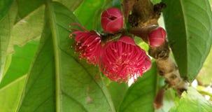 Schöne blühende Guajava-Frucht in den Zweigen wenn Sommerpause Stockfoto