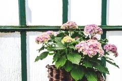 Schöne blühende Hortensieblume in einem Topf vor Fenster im Gewächshaus Stockfotografie